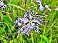 Dianthus superbus. (2).jpg