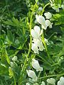 Dicentra spectabilis Alba02.jpg