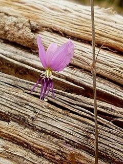 <i>Dichopogon</i> genus of plants