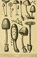 Die Natürlichen Pflanzenfamilien nebst ihren Gattungen und wichtigeren Arten, insbesondere den Nutzpflanzen, unter Mitwirkung zahlreicher hervorragender Fachgelehrten begründet (1900) (20312613684).jpg
