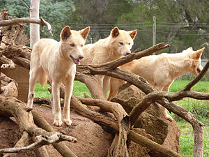 Dingoes at Phillip Island