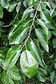 Diospyros virginiana JPG1c.jpg