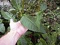 Dipsacus pilosus leaf (09).jpg
