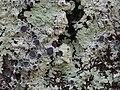 Dirinaria confluens (Fr.) D.D. Awasthi 812561.jpg