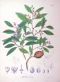 Distylium racemosum SZ94.png