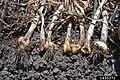 Ditylenchus dipsaci at Allium sativum (01).jpg