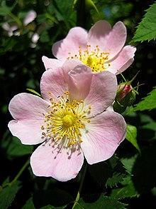 Photograph showing Rosa canina flowers.