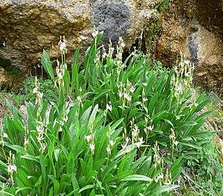 <i>Dodecatheon redolens</i> species of plant