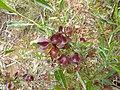 Dodonaea viscosa 1.jpg