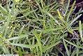 Dodonaea viscosa angustifolia 2zz.jpg