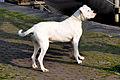 Dogo Argentino -Argentijnse dog 14-04-2010 17-00-50.jpg