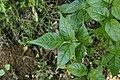 Dolichandrone spathacea 9378.jpg