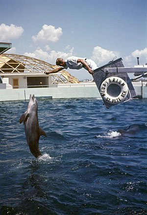 Dolphin leaping out of the water for an animal trainer during a performance at the Aquatarium attraction in St. Petersburg Beach, Florida.jpg