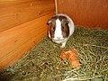 Domesticated guina pigs 13.jpg