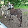 Donkeys at Heslington (27571961586).jpg