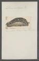 Doris setigera - - Print - Iconographia Zoologica - Special Collections University of Amsterdam - UBAINV0274 080 21 0004.tif