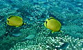 Dotted Butterflyfishes (Chaetodon semeion) with Ternate Chromis (Chromis ternatensis) (8503940392).jpg