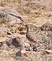 Double-banded Courser (Rhinoptilus africanus) (31779022713).jpg