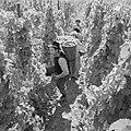 Drager met volle oogstkuip en druivenpluksters, Bestanddeelnr 254-4163.jpg