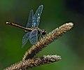 Dragonfly in autumn . Cozachyi island, Kyiv.jpg