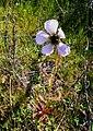 Drosera cistiflora Wellington.jpg