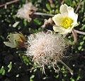 Dryas integrifolia upernavik 2007-07-11 3.jpg