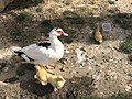 DuckWithchick002.jpg