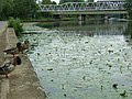 Ducks and duckling on the River Nene - geograph.org.uk - 465171.jpg