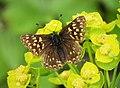 Duke Of Burgundy Fritillary. Hamearis lucina. Riodinidae (44095100435).jpg