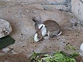 Dutch rabbit (16430810476).jpg