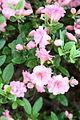 E.H. Wilson Rhododendron (3502720485).jpg