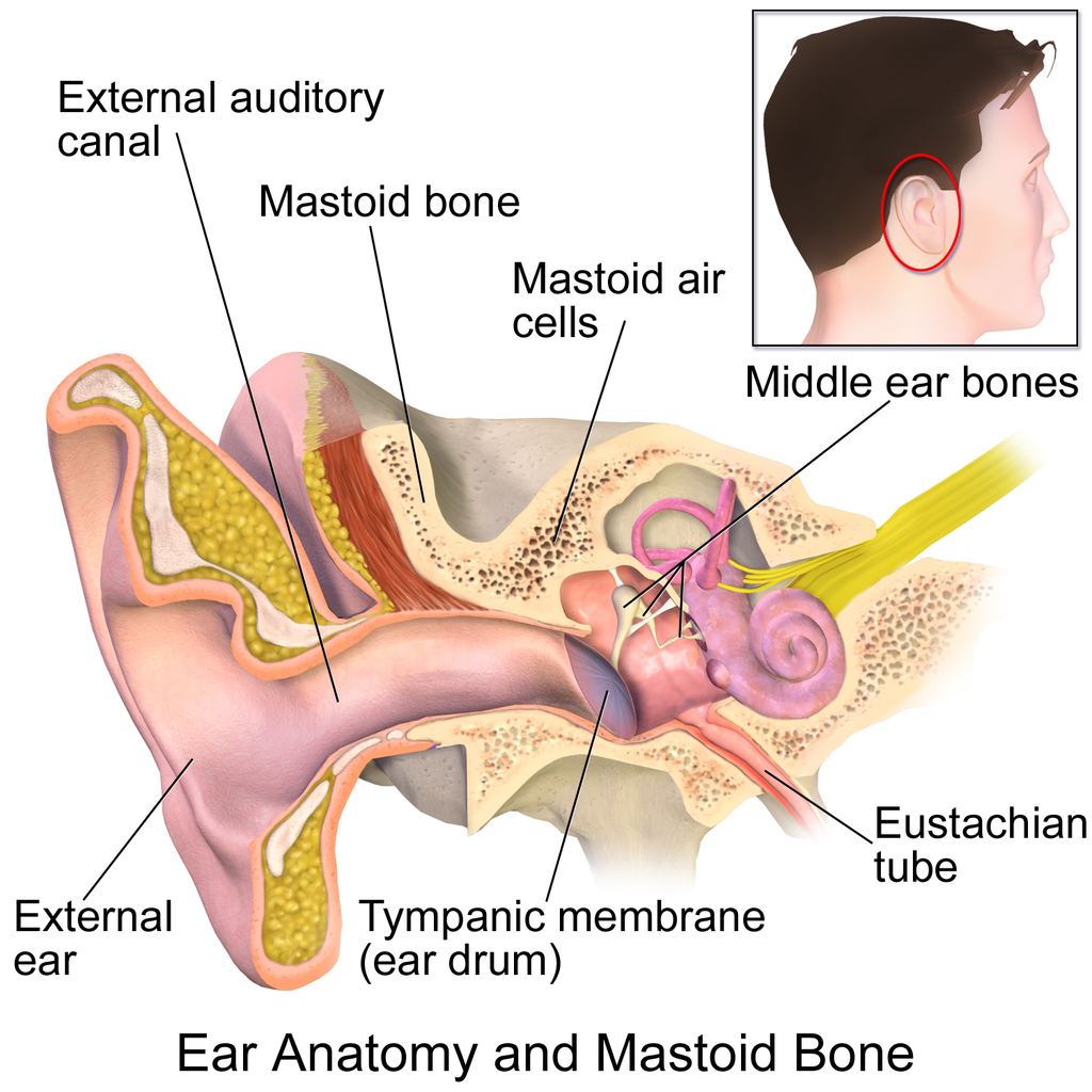 File:Ear Anatomy and Mastoid Bone.png - Wikimedia Commons