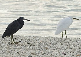 Eastern Reef Egret - dark and light morphs-trim.jpg