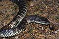 Eastern Tiger Snake (Notechis scutatus) (8398218886).jpg