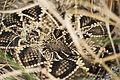 Eastern diamondback rattlesnake 0001.jpg