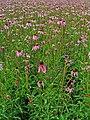Echinacea pallida 001.JPG