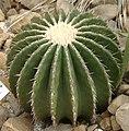 Echinocactus ingens3.jpg