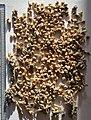 Echinochloa frumentacea seeds, by Omar Hoftun.jpg