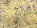 Echinops ruthenicus (in habitat) 2.jpg