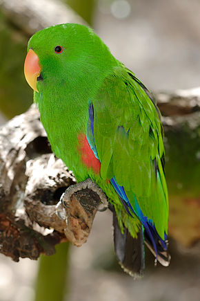 Description de l'image  Image:Eclectus Parrot - melbourne zoo.jpg .
