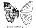 EctroctaDiaphana.png