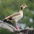 Egyptian Goose, Mabibi, South Africa (6577864639).jpg
