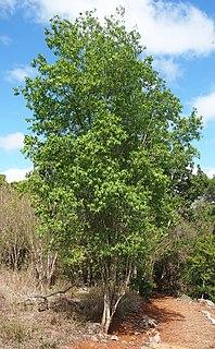 <i>Ehretia saligna</i> species of plant
