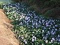 Eichhornia crassipes - DSCF3117.jpg