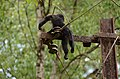 Electrocuted lion-tailed macaque infant in Valparai DSC 2564.jpg
