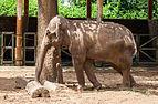 Elefante asiático (Elephas maximus), Zoo de Ciudad Ho Chi Minh, Vietnam, 2013-08-14, DD 01.JPG