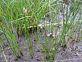 Eleocharis sp. por Pato Novoa - 002.jpg