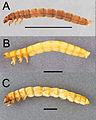 Eleodes larvae lateral (nigropilosus wheeleri armatus).jpg