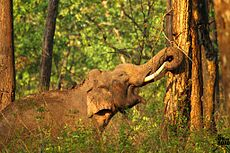 Elephant in Kabini, Nagarhole National Park Karnataka India.jpg