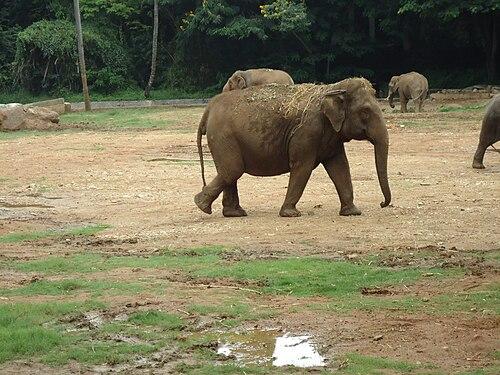 Elephants in Mysore Zoo.JPG